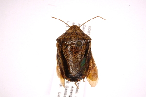 (Cataulax - INB0004010242)  @14 [ ] Copyright (2012) Jim Lewis Instituto Nacional de Biodiversidad
