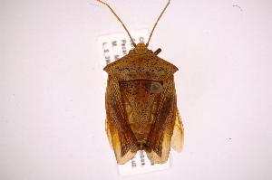 (Edessa polymita - INB0004010245)  @15 [ ] Copyright (2012) Jim Lewis Instituto Nacional de Biodiversidad