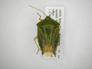 (Edessa sp1 - INB0004012046)  @15 [ ] Copyright (2012) Jim Lewis Instituto Nacional de Biodiversidad