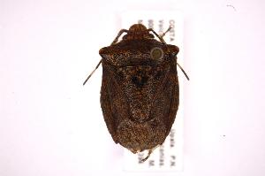 (Ablaptus - INB0004017221)  @13 [ ] Copyright (2012) Jim Lewis Instituto Nacional de Biodiversidad