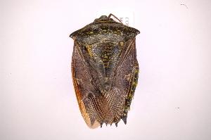 (Edessa sp47 - INB0004079631)  @11 [ ] Copyright (2012) Jim Lewis Instituto Nacional de Biodiversidad
