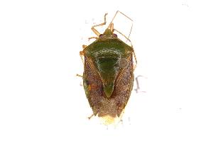 (Edessa sp31 - INB0004090944)  @14 [ ] Copyright (2012) Jim Lewis Instituto Nacional de Biodiversidad