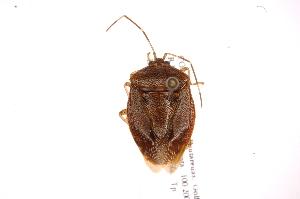 (Neotibilis - INB0004103814)  @11 [ ] Copyright (2012) Jim Lewis Instituto Nacional de Biodiversidad