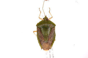 (Edessa sp7 - INB0004103839)  @14 [ ] Copyright (2012) Jim Lewis Instituto Nacional de Biodiversidad