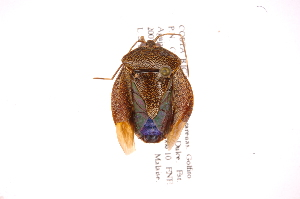 (Neotibilis - INB0004104571)  @11 [ ] Copyright (2012) Jim Lewis Instituto Nacional de Biodiversidad