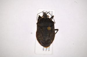 (Schraderillus - INB0004108265)  @14 [ ] Copyright (2012) Jim Lewis Instituto Nacional de Biodiversidad