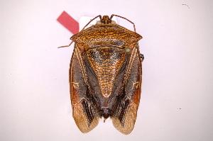 (Pentatomidae Gn sp - INB0004109156)  @15 [ ] Copyright (2012) Jim Lewis Instituto Nacional de Biodiversidad