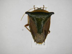 (Edessa pictiventris - INB0004137746)  @14 [ ] Copyright (2012) Jim Lewis Instituto Nacional de Biodiversidad