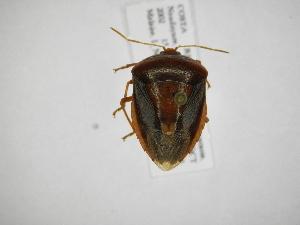 (Edessa sp23 - INB0004148935)  @11 [ ] Copyright (2012) Jim Lewis Instituto Nacional de Biodiversidad