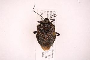(Pentatomidae Gn. sp - INB0004154325)  @15 [ ] Copyright (2012) Jim Lewis Instituto Nacional de Biodiversidad