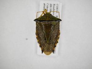 (Edessa sp - INB0004170377)  @15 [ ] Copyright (2012) Jim Lewis Instituto Nacional de Biodiversidad
