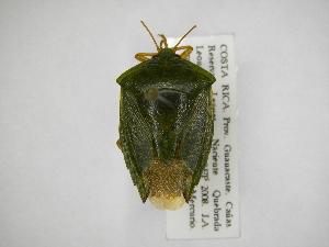 (Edessa junix - INB0004171958)  @11 [ ] Copyright (2012) Jim Lewis Instituto Nacional de Biodiversidad