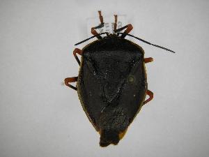 (Edessinae - INB0004187858)  @15 [ ] Copyright (2012) Jim Lewis Instituto Nacional de Biodiversidad