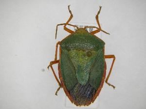 (Edessa rufomarginata - INB0004292217)  @15 [ ] Copyright (2012) Jim Lewis Instituto Nacional de Biodiversidad
