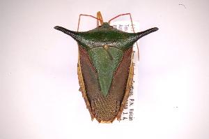 (Edessinae - INB0004300715)  @15 [ ] Copyright (2012) Jim Lewis Instituto Nacional de Biodiversidad
