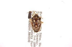 (Disderia - INBIOCRI000035642)  @11 [ ] Copyright (2012) Jim Lewis Instituto Nacional de Biodiversidad