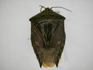 (Edessa irrorata - INBIOCRI000195483)  @11 [ ] Copyright (2012) Jim Lewis Instituto Nacional de Biodiversidad