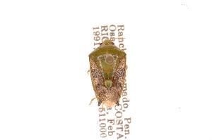 (Edessa sp8 - INBIOCRI000216049)  @11 [ ] Copyright (2012) Jim Lewis Instituto Nacional de Biodiversidad