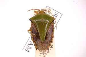 (Edessa JAMFernandessp249 - INBIOCRI000314602)  @11 [ ] Copyright (2012) Jim Lewis Instituto Nacional de Biodiversidad