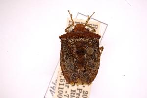 (Ablaptus - INBIOCRI000412678)  @13 [ ] Copyright (2012) Jim Lewis Instituto Nacional de Biodiversidad