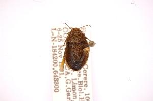 (Discocephalessa - INBIOCRI000524251)  @12 [ ] Copyright (2012) Jim Lewis Instituto Nacional de Biodiversidad