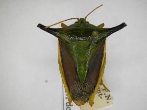 (Edessa cerastes - INBIOCRI000545517)  @11 [ ] Copyright (2012) Jim Lewis Instituto Nacional de Biodiversidad