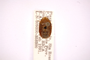(Lineosthethus - INBIOCRI000611633)  @11 [ ] Copyright (2012) Jim Lewis Instituto Nacional de Biodiversidad