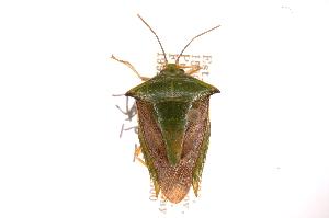 (Edessa sp11 - INBIOCRI000776689)  @11 [ ] Copyright (2012) Jim Lewis Instituto Nacional de Biodiversidad