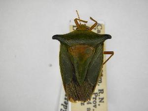 (Edessa pennata - INBIOCRI000781433)  @11 [ ] Copyright (2012) Jim Lewis Instituto Nacional de Biodiversidad