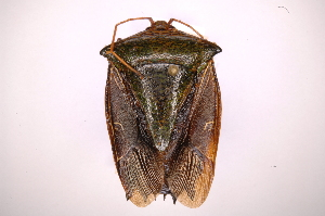 (Edessa sp45 - INBIOCRI000857890)  @11 [ ] Copyright (2012) Jim Lewis Instituto Nacional de Biodiversidad