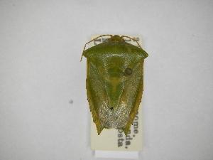 (Pantochlora - INBIOCRI000896565)  @11 [ ] Copyright (2012) Jim Lewis Instituto Nacional de Biodiversidad