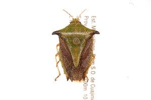 (Edessa sp60 - INBIOCRI001158894)  @11 [ ] Copyright (2012) Jim Lewis Instituto Nacional de Biodiversidad