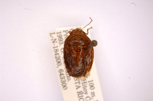(Phoeacia - INBIOCRI001299625)  @13 [ ] Copyright (2012) Jim Lewis Instituto Nacional de Biodiversidad