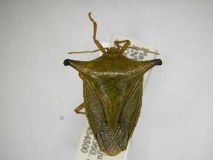 (Edessa helix - INBIOCRI001335832)  @11 [ ] Copyright (2012) Jim Lewis Instituto Nacional de Biodiversidad