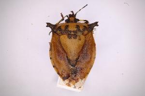(Eludocoris - INBIOCRI001355604)  @11 [ ] Copyright (2012) Jim Lewis Instituto Nacional de Biodiversidad