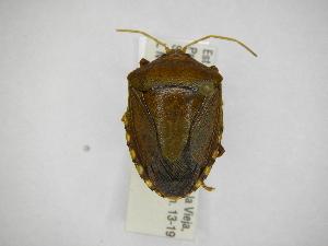 (Edessa caldaria - INBIOCRI001615745)  @14 [ ] Copyright (2012) Jim Lewis Instituto Nacional de Biodiversidad