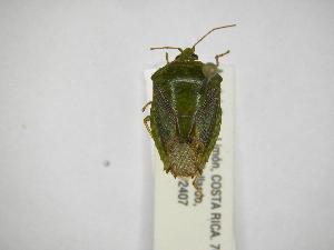 (Edessa rixosa - INBIOCRI001644432)  @11 [ ] Copyright (2012) Jim Lewis Instituto Nacional de Biodiversidad