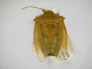 (Edessa jansoni - INBIOCRI001744756)  @11 [ ] Copyright (2012) Jim Lewis Instituto Nacional de Biodiversidad