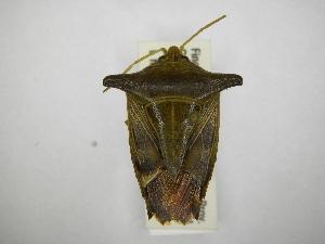 (Edessa leucogramma - INBIOCRI001748081)  @11 [ ] Copyright (2012) Jim Lewis Instituto Nacional de Biodiversidad