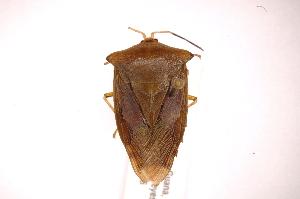 (Piezosternum - INBIOCRI001761712)  @15 [ ] Copyright (2012) J. Lewis Instituto Nacional de Biodiversidad