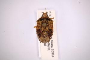(Adevoplitus - INBIOCRI001761715)  @12 [ ] Copyright (2012) Jim Lewis Instituto Nacional de Biodiversidad