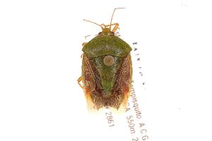 (Edessa JAMFernandessp241 - INBIOCRI001799305)  @11 [ ] Copyright (2012) Jim Lewis Instituto Nacional de Biodiversidad