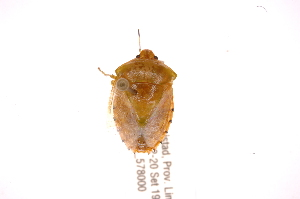 (Glaucioides - INBIOCRI001839488)  @11 [ ] Copyright (2012) Jim Lewis Instituto Nacional de Biodiversidad