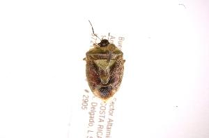 (Kermana - INBIOCRI001860022)  @11 [ ] Copyright (2012) Jim Lewis Instituto Nacional de Biodiversidad