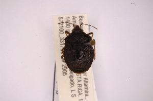 (Parastalius - INBIOCRI001860023)  @12 [ ] Copyright (2012) Jim Lewis Instituto Nacional de Biodiversidad