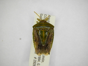 (Edessa sp22 - INBIOCRI001871690)  @11 [ ] Copyright (2012) Jim Lewis Instituto Nacional de Biodiversidad