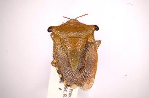 (Edessa sp66 - INBIOCRI001892527)  @11 [ ] Copyright (2012) Jim Lewis Instituto Nacional de Biodiversidad