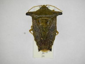 (Edessa leucogramma - INBIOCRI001913737)  @11 [ ] Copyright (2012) Jim Lewis Instituto Nacional de Biodiversidad