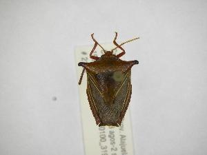 (Edessa jugata - INBIOCRI001935523)  @11 [ ] Copyright (2012) Jim Lewis Instituto Nacional de Biodiversidad