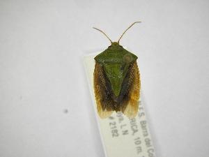 (Edessa loxdalii - INBIOCRI001955211)  @11 [ ] Copyright (2012) Jim Lewis Instituto Nacional de Biodiversidad